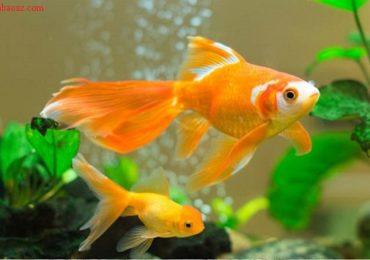 Mệnh thổ nên nuôi mấy con cá thì tốt? Cá gì?