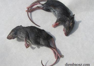 Nằm mơ thấy con chuột chết là điềm gì, đánh đề con gì?