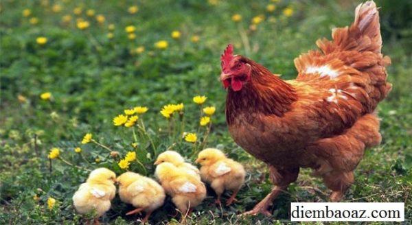 Nằm mơ thấy đàn gà con mới nở là điềm gì, đánh đề con gì?