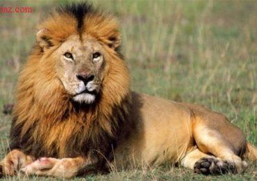 Nằm mơ thấy sư tử là điềm gì, đánh đề con gì?