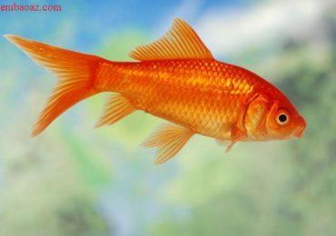 Nằm mơ thấy cá chép vàng là điềm gì, đánh đề con gì?