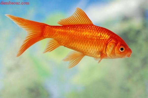 Nằm mơ thấy cá chép vàng đánh con gì, số mấy, có điềm báo gì?