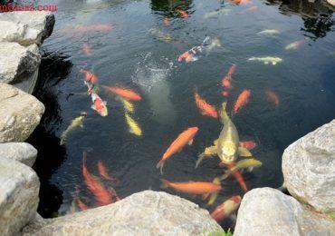 Nằm mơ thấy cá bơi trong nước là điềm gì, đánh đề con gì?