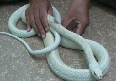 Nằm mơ thấy rắn trắng là điềm gì, đánh đề con gì?