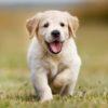 Nằm mơ thấy chó vào nhà là điềm gì, đánh đề con gì?