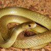 Nằm mơ thấy rắn vàng là điềm gì, đánh đề con gì?