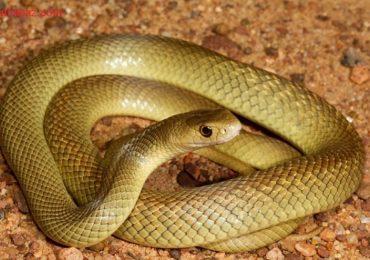Nằm mơ thấy rắn vàng là điềm gì, đánh đề con gì? số mấy?