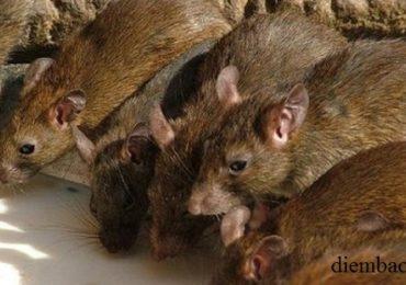 Nằm mơ thấy nhiều con chuột chạy thành đàn là điềm gì, đánh đề con gì?