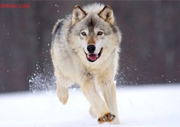 Nằm mơ thấy chó sói đuổi cắn là điềm gì, đánh đề con gì?
